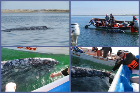 1-Gray Whales