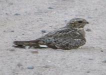 Lesser Nighthawk male Aug 9 vs