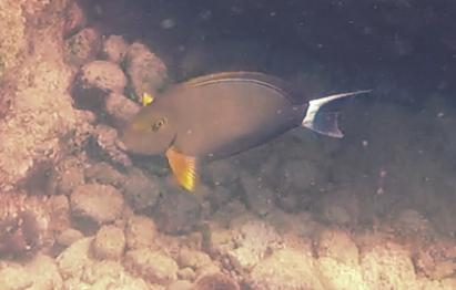 P Nov 20 Yellowfin 5g