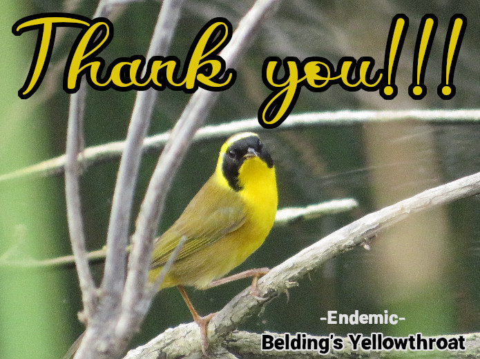 Belding's Yellowthroat Thank You!